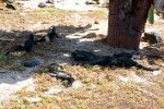 60_On_Playa_Perro_a_few_Marine_Iguanas_(Amblyrhynchus cristatus hassi-Meeresechse)_were_resting_in_the_shade