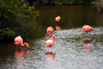 03_A_group_of_Greater_Flamingos_(Phoenicopterus ruber-Kuba-Flamingo)_in_one_of_the_lagoons