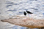 08_Black-necked_Stilt_(Himantopus_mexicanus-Schwarznacken-Stelzenläufer)_looking_for_small_invertebrates_in_the_mud