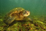 30_Galapagos_Green_Turtle_(Chelonia_mydas_agassisi-Galapagos-Suppenschildkröte)_feeding_on_algae