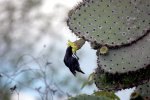 55_A_male_Cactus_Ground_Finch