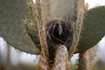 56_Empty_nest_of_a_Cactus_Ground_Finch_on_an_Opuntia_Cactus