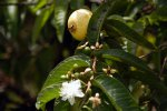 64_Common_Guaves_(Psidium_guajava-Guave)_are_an_introduced_pest_on_volcan_SIerra_Negra