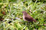 67_Small_Ground_Finch_(Geospiza_fuliginosa-Klein-Grundfink)_on_the_volcan