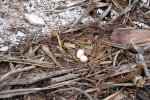 03_Nest_of_a_Brown_Booby_with_the_two_eggs