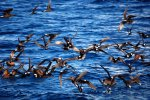 35_The_Black_Noddies_look_like_they_are_walking_on_the_water_surface_(Anous_minutus-Wiesskappenseeschwalbe)