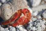 47_One_of_the_thousands_of_Hermit_Crabs_on_the_islands