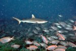 10_Grey_Reefsharks_are_cruising_above_the_Bigeyes_(Carcharhinos_amblyrhynchos-Grauer_Riffhai)