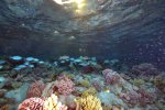 12_Group_of_Parrot_fish_along_the_reef
