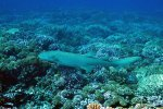 17_Tawny_Nurse_Shark_swimming_across_the_reef_in_the_middle_of_the_pass_(Nebrius_ferrugineus-Indopazifischer_Ammenhai)