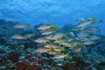 05_One_spot_Snapper_swimming_in_the_fish_soup_at_the_entrance_of_the_south_pass_(Lutjanus_monostigma-Einfleck-Schnapper)