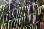30_Pandanus_tree_at_old_sugar_cane_harbor