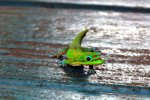 41_Gold_Dust_Day_Gecko_(Phelsuma_laticauda_laticaud)_is_found_everywhere_but_was_introduced_on_the_islands_from_Madagascar