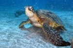 01_Green_turtles_(Chelonia_mydas-Suppenschildkröte)_are_really_relaxed_around_Maui