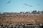 25_Royal_Terns_breed_next_to_the_gulls_on_one_part_of_the_island