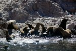 07_Mating_season_is_starting_and_the_sealions_start_to_form_groups