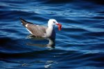 28_Adult_Heermanns_Gull_just_caught_a_pelagic_red_crab_(Larus_heermanni-Heermannsmöwe)