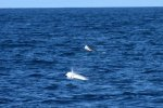 01_A_big_group_of_Rissos_Dolphins_was_hunting_and_jumping_around_Pakia_tea(Grampus_griseus)