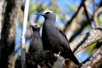 04_Black_Noddy_(Anous_minutus)_and_chick_observing_their_surroundings