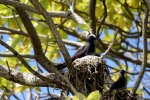 09_Black_noddy_and_small_chick_in_their_nest
