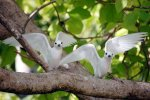 35_White_terns_usually_come_in_pairs