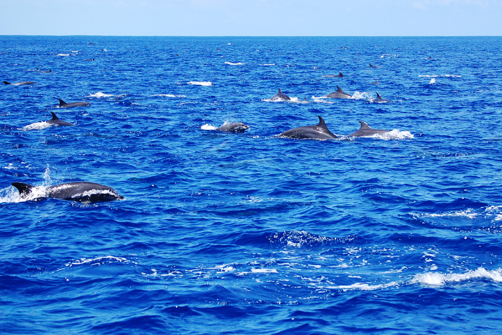 Superpod of indo-pacific bottlenose dolphins (Tursiops aduncus)