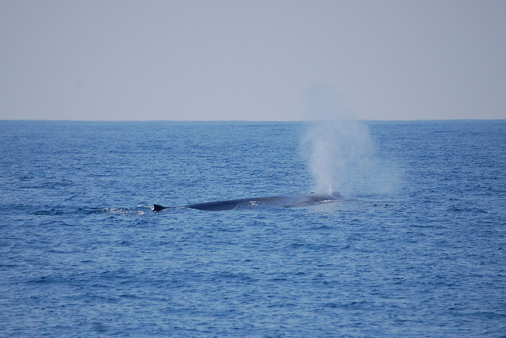 Blue Whale - Balaenoptera musculus - spout