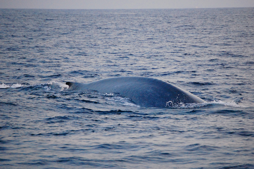 Blue Whale - Balaenoptera musculus - on collision course