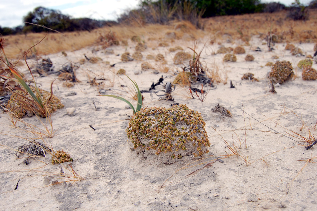 Little plants stabilizing the sandy ground